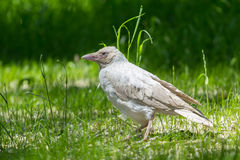 Albino white crow. Sitting on the green grass Royalty Free Stock Image