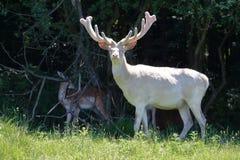 Albino white deer Stock Image