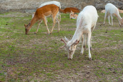 Albino white deer. White tailed deers grazing on the meadow Royalty Free Stock Photo