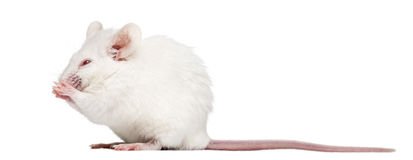Albino white mouse having a wash, Mus musculus, Royalty Free Stock Image