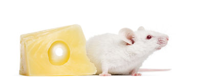 Albino white mouse next to a piece of cheese,. Mus musculus, isolated on white Royalty Free Stock Images