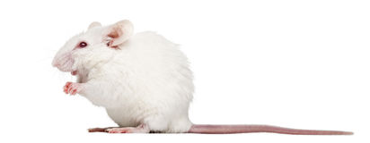 Albino white mouse sitting, Mus musculus. Side view of an albino white mouse sitting, Mus musculus, isolated on white Stock Photos