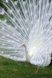 Albino White Peacock Stock Photo