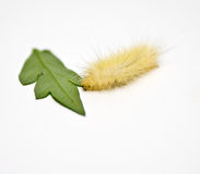 Albino woolly caterpillar Royalty Free Stock Image
