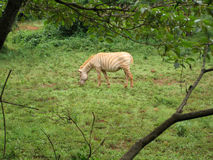 An albino zebra Stock Photos