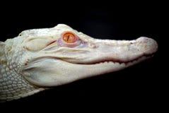 albinoalligatorn behandla som ett barn Arkivbilder