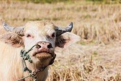 Albinobüffel. Lizenzfreies Stockfoto