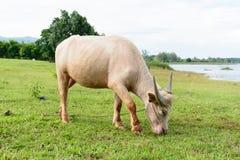 Albinobüffel, der Gras im Bauernhof isst Lizenzfreies Stockbild