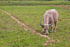 Albinobüffel, der Gras isst Stockfotos