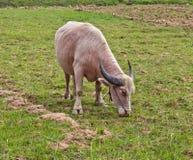 Albinobüffel, der Gras isst Lizenzfreie Stockbilder