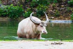 Albinobüffel im Teich Lizenzfreie Stockfotos