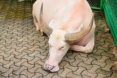 Albinobüffel in Thailand Lizenzfreies Stockbild