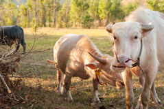 Albinobüffel (weißer Büffel) lassen auf der Wiese bei Sonnenuntergang weiden Stockfotos