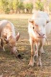 Albinobüffel (weißer Büffel) lassen auf der Wiese bei Sonnenuntergang weiden Stockbild
