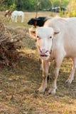 Albinobüffel (weißer Büffel) lassen auf der Wiese bei Sonnenuntergang weiden Lizenzfreies Stockfoto