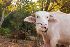 Albinobüffel (weißer Büffel) lassen auf der Wiese bei Sonnenuntergang weiden Lizenzfreies Stockbild