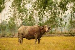 Albinobüffel (weißer Büffel) lassen weiden Stockfotos