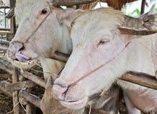 Albinobüffel (weißer Büffel) Stockfotos