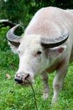 Albinobüffel (weißer Büffel) schauend zur Kamera Lizenzfreie Stockfotografie