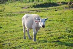 Albinobuffel Royaltyfri Fotografi