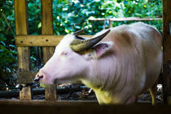 Albinobuffel Arkivfoton