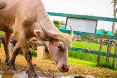 Albinobuffels in het landbouwbedrijf royalty-vrije stock foto's
