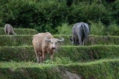Albinobuffels op een gebied die de fotograaf bekijken Royalty-vrije Stock Foto's