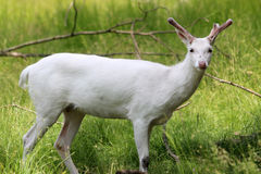 Albinohjortar Arkivbild