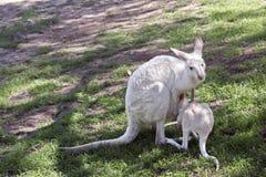 Albinokänguru med känguruunge royaltyfri bild