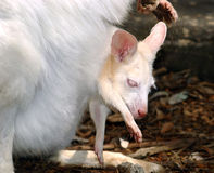 Albinokänguruh Stockbilder