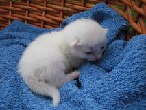 Albinokätzchen Stockbild