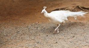 albinopåfågel Arkivfoton