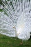 albinopåfågelwhite Arkivfoto