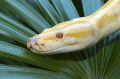 albinophython Royaltyfri Foto