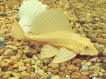 Albinoplecostomus i fiskbehållare Fotografering för Bildbyråer