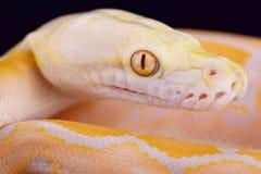 Albinopython met een netvormig patroon (Malayopython-reticulatus) Stock Foto