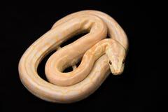 Albinopytonorm Arkivbild