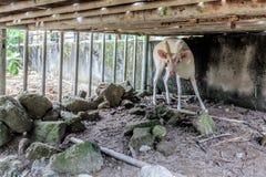 Albinorotwild Lizenzfreies Stockfoto