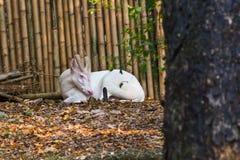 Albinosów Szczekliwi rogacze Obraz Royalty Free