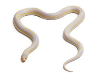 Albinos banana eastern kingsnake Stock Images