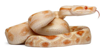 albinos boa σφιγκτήρας στοκ εικόνα
