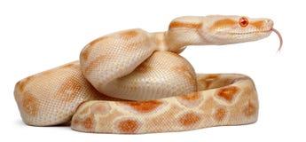 Albinos Boa constrictor, Boa constrictor Stock Image