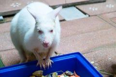 Albinos d'oeil de vin rouge du kangourou blanc Images stock