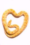 Albinos de python Photographie stock