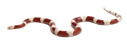 Albinos milk snake or milksnake, Lampropeltis Royalty Free Stock Image