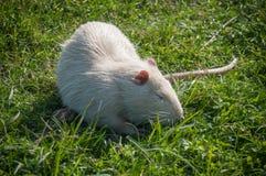 Albinos nutrie w trawie Obraz Stock
