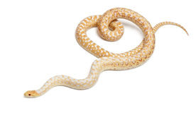 Albinos Pacific gopher snake or coast gopher Stock Photo