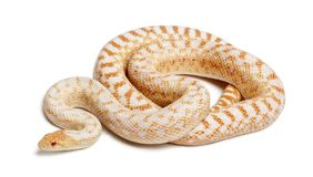 Albinos Pacific gopher snake or coast gopher snake, pituophis ca. Tenifer annectans applegate, in front of white background royalty free stock photography