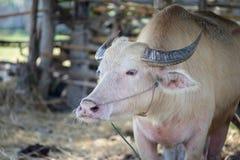 Albinos Tajlandzki Buffallo Zdjęcia Royalty Free