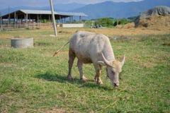 Albinos Tajlandzki Buffallo Zdjęcie Stock